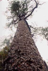 Photograph looking up at a Morris Pine