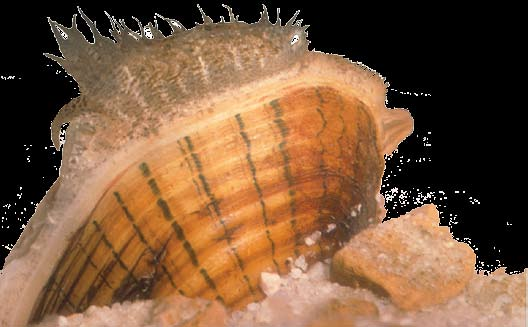 Fine-lined pocketbook mussel (Hamiota altilis). Photo by Wendell Haag, U.S. Forest Service.  (From Compass Magazine, Issue 10, Mussels:  Do not disturb!)