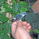 Photo of a Cerúlean warbler (Dendroica cerulea).  (Photo by Callie Schweitzer, from Compass Magazine, Issue 16, The Good News)