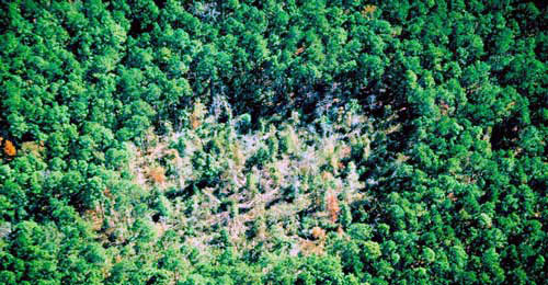 Damage from Southern Pine Beetle