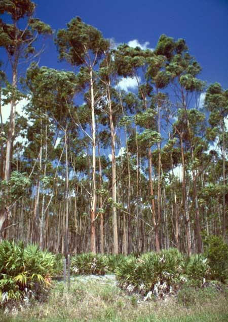 Eight year-old Eucalyptus stand in Florida. Photo by Edward L. Barnard, courtesy of Bugwood.org.