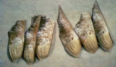 Longleaf pine seeds. Photo from U.S. Forest Service Archives, courtesy of Bugwood.org.