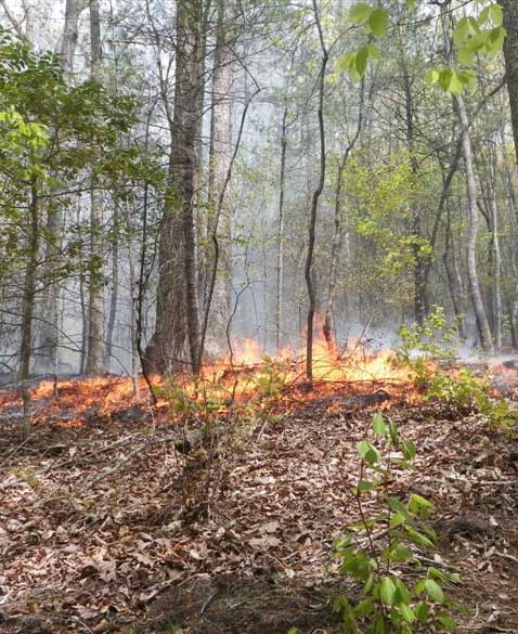 Low-intensity prescribed fire set on research plots in the Bent Creek Experimental Forest in April. Photo by U.S. Forest Service.