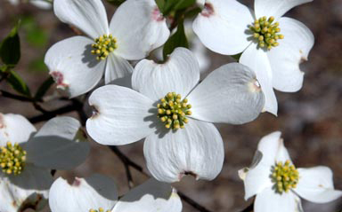 Flowering dogwood, one of the species researchers used as a test case for looking at seed origins and future suitable habitat. Photo by Wendy VanDyke Evans, courtesy of Bugwood.org.