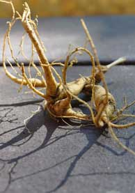 American ginseng roots. Photo by National Park Service.