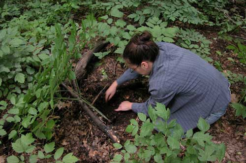 Volunteer citizen scientist harvesting black cohosh for research study. Photo by Jim Chamberlain.