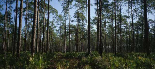 Longleaf pine forest in southern Alabama. Photo by U.S. Forest Service.