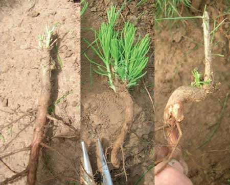 Shortleaf pines crooked root collar (right) protects it from fire. Loblolly doesnt have a crook (left), and shortleaf-loblolly hybrids have an inconspicuous crook that doesnt confer fire tolerance. Photo by Curtis Lilly.