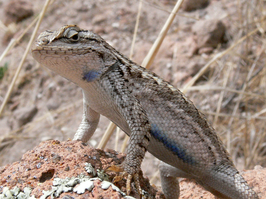 Eastern fence lizard, one of the reptile species studied at Green River Game Land. Photo by Sally King, courtesy of National Park Service.