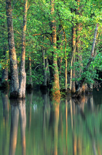 The new FIA report finds that baldcypress-tupelo forest makes up 16 percent of Lower Mississippi Alluvial Valley forest lands. Photo by Bill Lea, U.S. Forest Service.