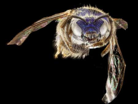Native bees come in many colors. This species, in the Augochlorella genus, can be green but in the Deep South and coastal areas, is often dark purple or blue. Photo by Sam Droege, U.S. Geological Survey.