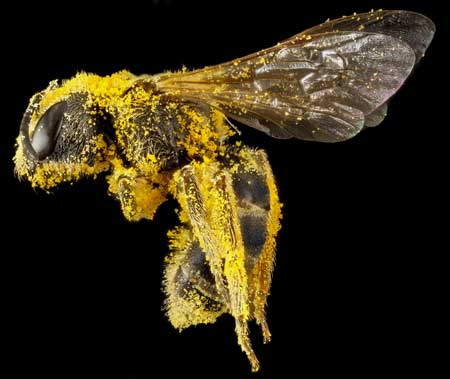 Pollen sticks to bees' fuzzy hairs: when they fly from plant to plant to feed, bees also shuttle pollen between the plants. Photo by Sam Droege, USGS.