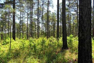 Planted loblolly pine stand. Photo by David Stephens, courtesy of Bugwood.