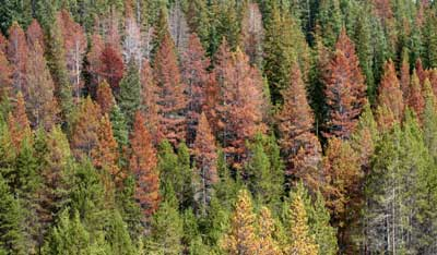Lodgepole pine recently killed by mountain pine beetle. Photo by Whitney Cranshaw, Colorado State University, courtesy of Bugwood.org.