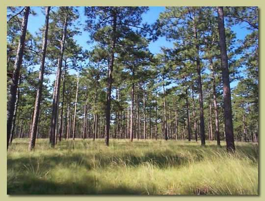 Longleaf pine stand at Jones Ecological Research Center in Ichauway, GA, where the conference was held. Photo by Jones Center.