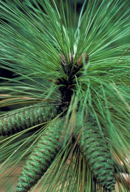 Longleaf pine conelets will shed seed this October. Photo courtesy of Bugwood.com.