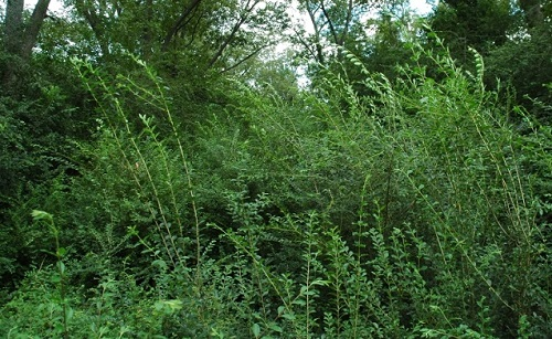 Southeastern forest infested with Chinese privet. Photo by David Moorhead, courtesy of bugwood.org.