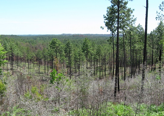 The Kisatchie Sandstone Hills of Louisiana provide habitat for many rare plants and animals, such as red cockaded woodpeckers and Louisiana pine snakes. Photo by Andy Scott.
