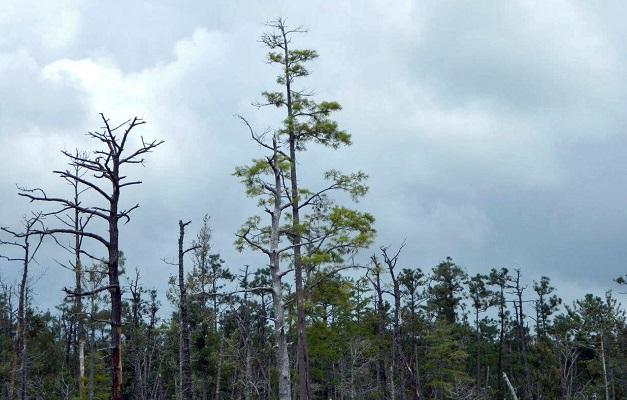 Some forested areas on the North Carolina coast are in decline due to storm surge impacts from Hurricane Irene. Photo by Jamie Dunbar, North Carolina Forest Service.