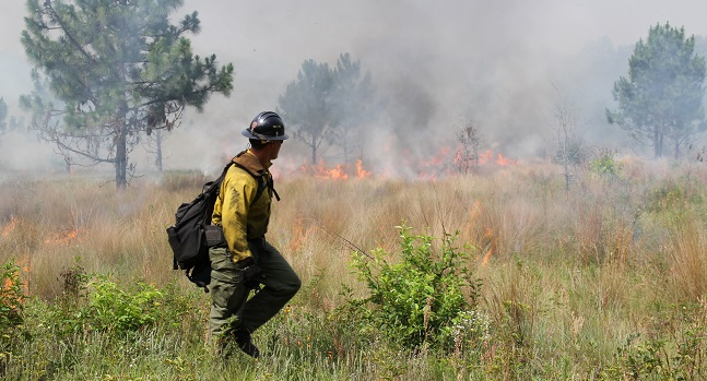 Prescribed fire in Coastal Plain flatwoods. Photo by U.S. Forest Service.