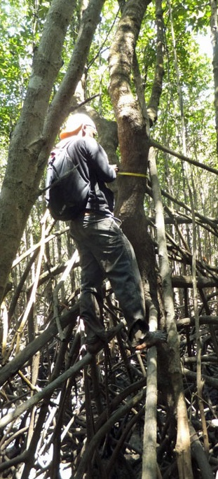 Measuring tree diameter in the mangrove swamps of the Zambezi Delta. Photo by Carl Trettin.