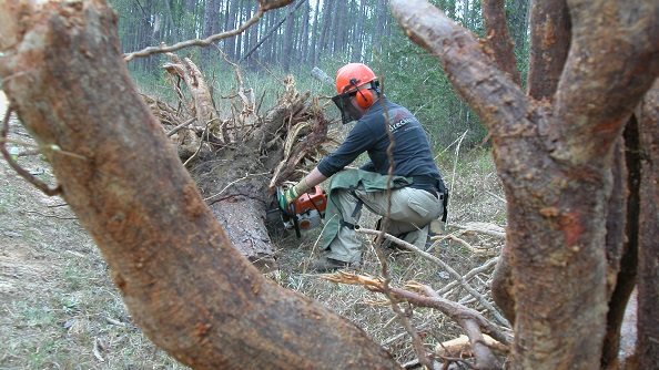 Measuring tree roots for study on the Harrison. Photo by U.S. Forest Service.