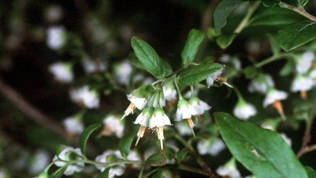 Deerberry, a type of wild blueberry, is an important early spring forage plant for bees. Photo by Robert Mohlenbrock, courtesy of USDA NRCS Wetland Science Institute.