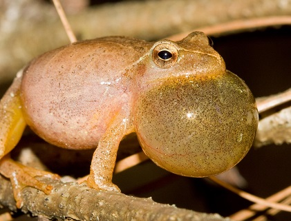 Spring peeper (Pseudacris crucifer) calling. Photo by Taylor Hall.