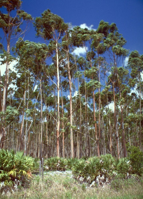 Eight-year-old Eucalyptus stand in south Florida. Photo by Edward Barnard, courtesy of Bugwood.org.