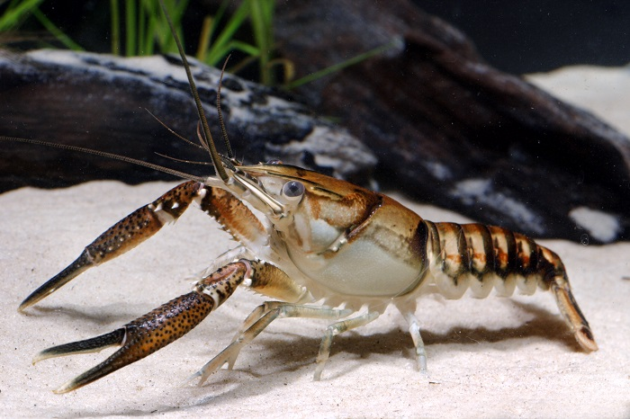 Procambarus lagniappe, the lagniappe crayfish, from Mississippi. Photo by Chris Lukhaup, courtesy of the U.S. Forest Service.
