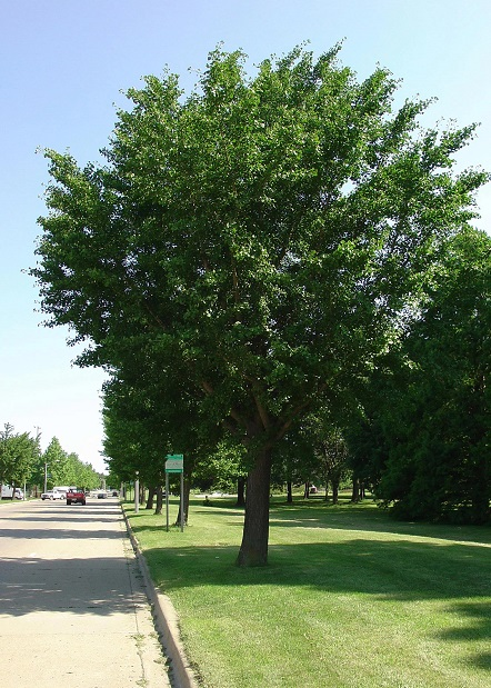 Urban trees provide cooling and shade, make neighborhoods and parks more walkable, and ultimately help protect humans from obesity, heart disease, depression, and other issues. Photo by the International Society of Arboriculture, courtesy of Bugwood.org.