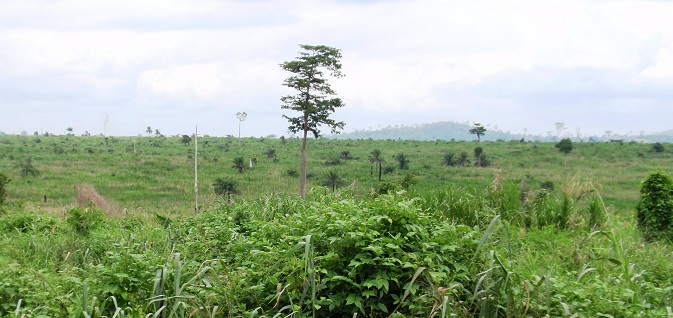 In the dry tropical forest zone of Ghana, severely degraded forests resulted from a combination of extractive logging without adequate regeneration and fire and invasion by Chromolaena odorata, a tropical species of flowering shrub in the sunflower family. Photo by U.S. Forest Service.