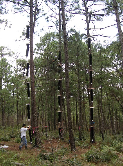 Strings of unbaited funnel-type bark beetle traps on trees being attacked by both southern and mesoamerican pine beetles in Lagunas de Montebello in Chiapas, Mexico.