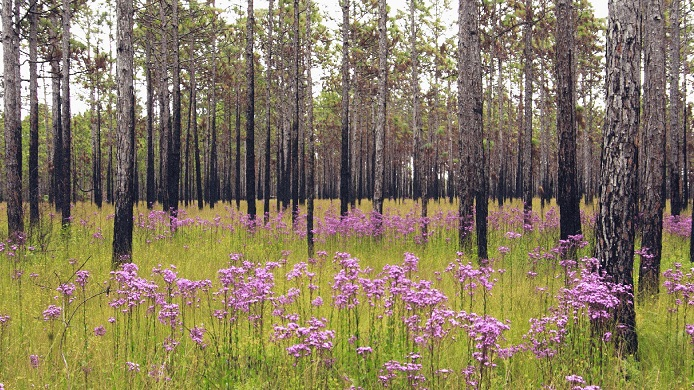 Longleaf pine stand in the Croatan National Forest, North Carolina. Photo by David McAdoo, Creative Commons.
