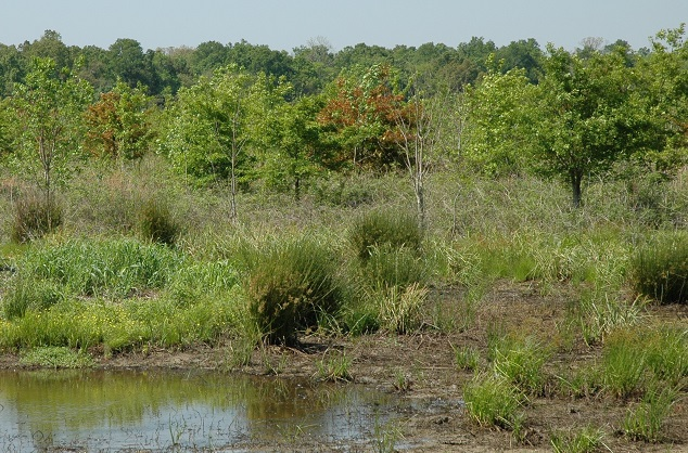A Mississippi Alluvial Valley WRP site, with planted bottomland hardwood trees adjacent to a moist-soil area. Photo courtesy of U.S. Geological Survey, National Wetlands Research Center.