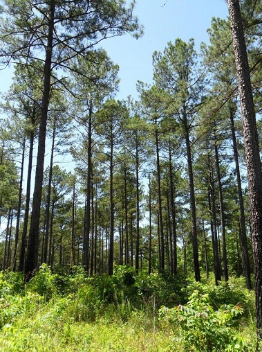 Planted loblolly pine stand, about 35 years old, has been thinned and prescribed burned multiple times. Photo by David Stephens, courtesy of Bugwood.org.