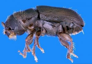 Adult southern pine beetle. Photo by Erich Vallery, courtesy of Bugwood.org.