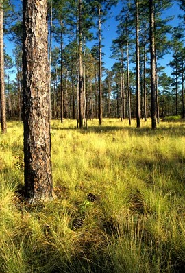 Longleaf pine forest. Photo by U.S. Forest Service.