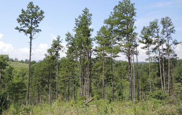 Shortleaf pine restoration site at Sandy Mush Game Land in western North Carolina. Photo by Steve Norman.