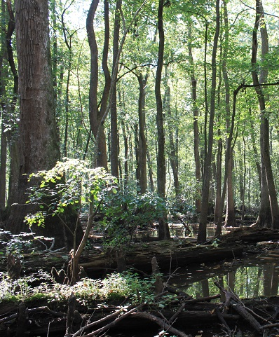 Typical scene in a bottomland forest of the Albemarle Sound region. Photo by Daniel White, The Nature Conservancy..