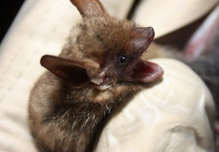 """Read the article """"Susan Loeb Awarded Grant for Research Related to White-Nose Syndrome in Bats"""""""