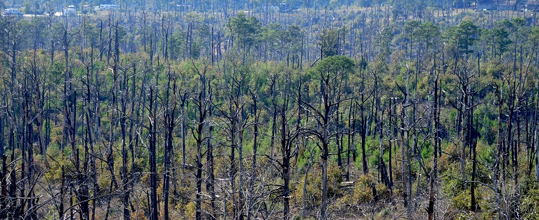 In Bastrop State Park, snags, surviving pines, aggressively resprouting holly (Ilex sp.), and clumped pine regeneration are seen 4 years after the Bastrop County Complex fire. Developed areas are visible in the background. Photo by Steve Norman, U.S. Forest Service.