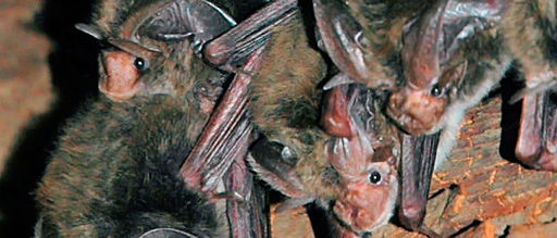 In the South Carolina Coastal Plain, Rafinesque's big-eared bats often roost in the hollows of bottomland hardwoods. Photo by U.S. Fish and Wildlife Service.