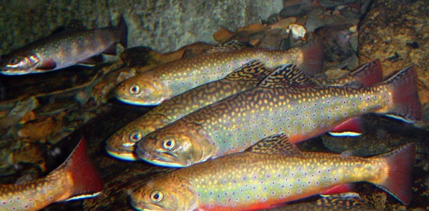 Trout are considered highly vulnerable to climate change. Hundreds of thousands of people enjoy trout fishing, and a majority of them are concerned about how climate change could affect trout. Photo by USFWS.