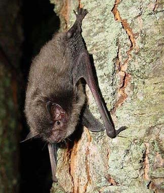 Understanding how male Indiana bats select roost trees in the months leading up to winter hibernation could prove critical to the survival of this endangered species. Photo by USFWS.