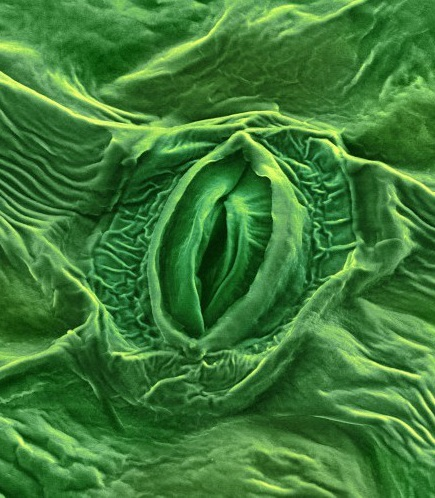 Plants exchange water vapor and other gases such as oxygen through pores, or stomata, on their leaves. Photo by Annie Cavanagh, Wellcome Images, CC 2.0.