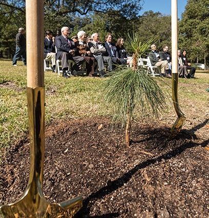 A moon pine grafted an original moon tree on the Harrison Experimental Forest was planted at Rice University this February. Photo courtesy of Rice University.