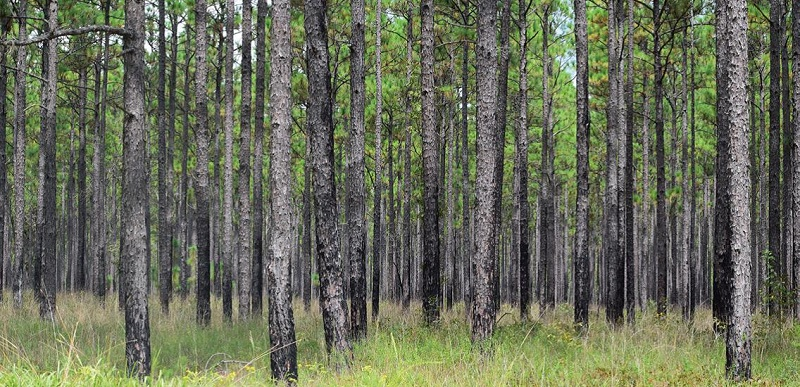 The Santee Experimental Forest is located in the Francis Marion National Forest in the South Carolina Coastal Plain. Photo by the U.S. Forest Service.