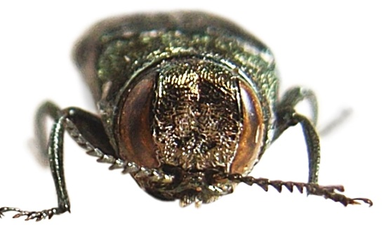 FIA data is used to measure the risk of future invasions. For example, the oak splendor beetle is a relative of the emerald ash borer, and could decimate oaks in the U.S. Photo by Siga, courtesy of Wikimedia Commons.
