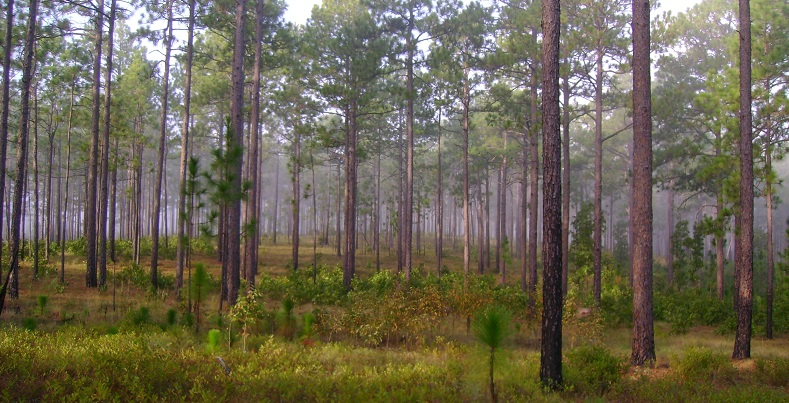 A longleaf pine stand in the Carolina sandhills, near one of the study sites. Longleaf pine in this site produced seed on a 4-year cycle, which is a slightly longer cycle than in the other sites. Photo by Jack Culpepper, U.S. Fish and Wildlife Service, courtesy of Wikimedia Commons.